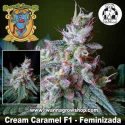 Cream Caramel F1 Fast Version – Feminizada – Sweet Seeds