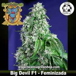 Big Devil F1 Fast Version – Feminizada – Sweet Seeds