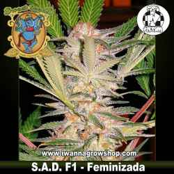 S.A.D. F1 Fast Version – Feminizada – Sweet Seeds