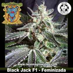 Black Jack F1 Fast Version – Feminizada – Sweet Seeds