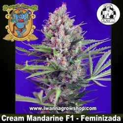Cream Mandarine F1 Fast Version – Feminizada – Sweet Seeds