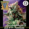 Jack 47 F1 Fast Version – Feminizada – Sweet Seeds