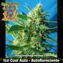Ice Cool Auto – Autofloreciente – Sweet Seeds