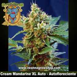 Cream Mandarine XL Auto – Sweet Seeds – Autofloreciente