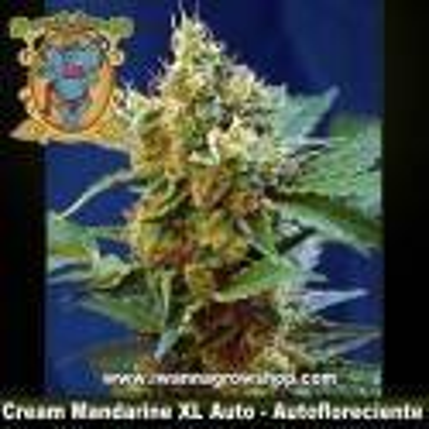 Cream Mandarine XL Auto – Sweet Seeds – Autofloreciente