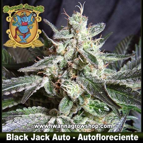 Black Jack Auto Sweet Seeds. 3, 5 y 10 u.