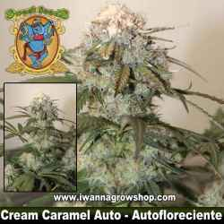 Cream Caramel Auto – Autofloreciente – Sweet Seeds