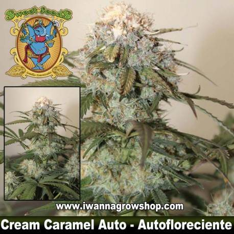 Cream Caremel Auto Sweet Seeds. 3, 5 y 10 u.
