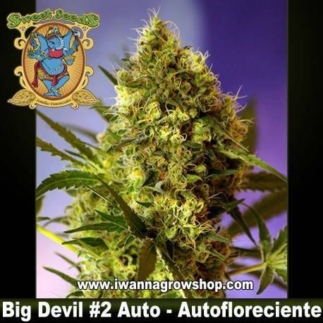 Big Devil 2 auto Sweet Seeds - 3, 5 y 10 u.