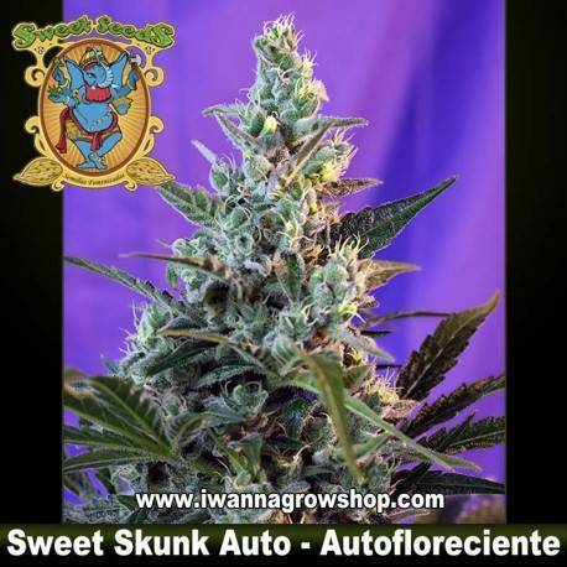 Sweet Skunk Auto Sweet Seeds 3, 5 y 10 u.
