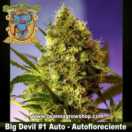 BIG DEVIL 1 AUTO de SWEET SEEDS semilla autofloreciente