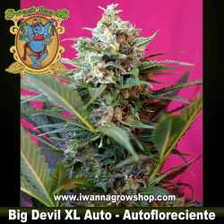 Big Devil XL Auto – Autofloreciente – Sweet Seeds