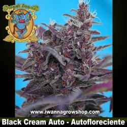 Black Cream Auto – Autofloreciente – Sweet Seeds