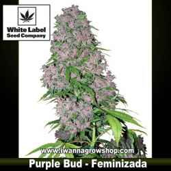 Purple Bud – Feminizada