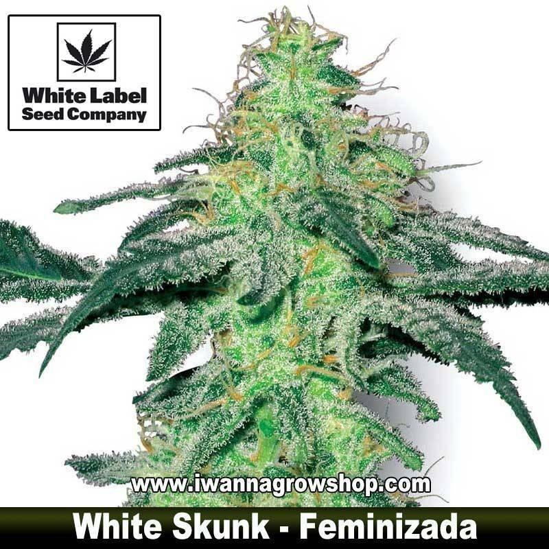 White Skunk
