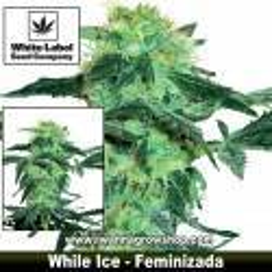 White Ice – Feminizada