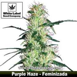 Purple Haze – Feminizada
