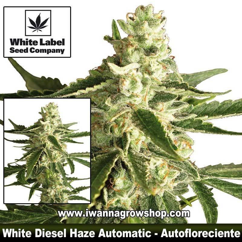 White Diesel Haze Automatic