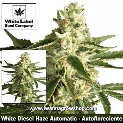 White Diesel Haze Automatic – Autofloreciente