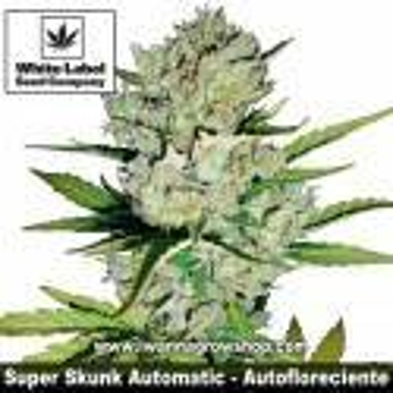 Super Skunk Automatic – Autofloreciente