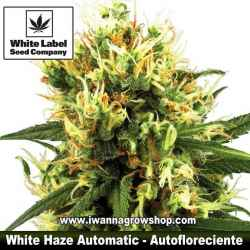 White Haze Automatic – Autofloreciente