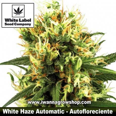 White Haze Automatic