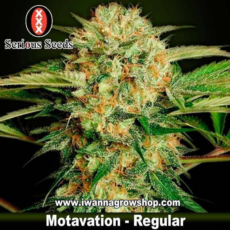 Motavation – Serious Seeds – Regular