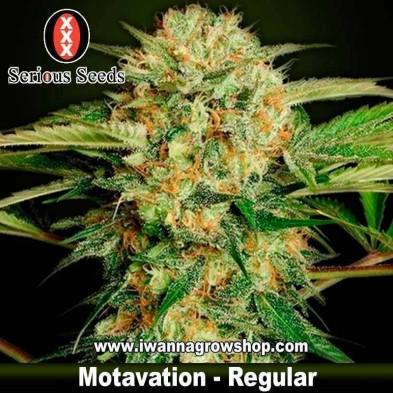 Motavation – Regular – Serious Seeds
