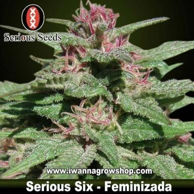 Serious Six – Serious Seeds – Feminizada