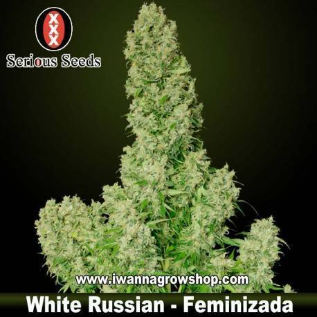 White Russian – Serious Seeds – Feminizada