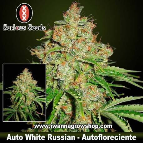 Auto White Russian – Serious Seeds – Autofloreciente