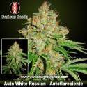 Auto White Russian – Autofloreciente – Serious Seeds