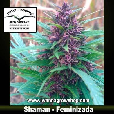 Shaman – Feminizada – Dutch Passion