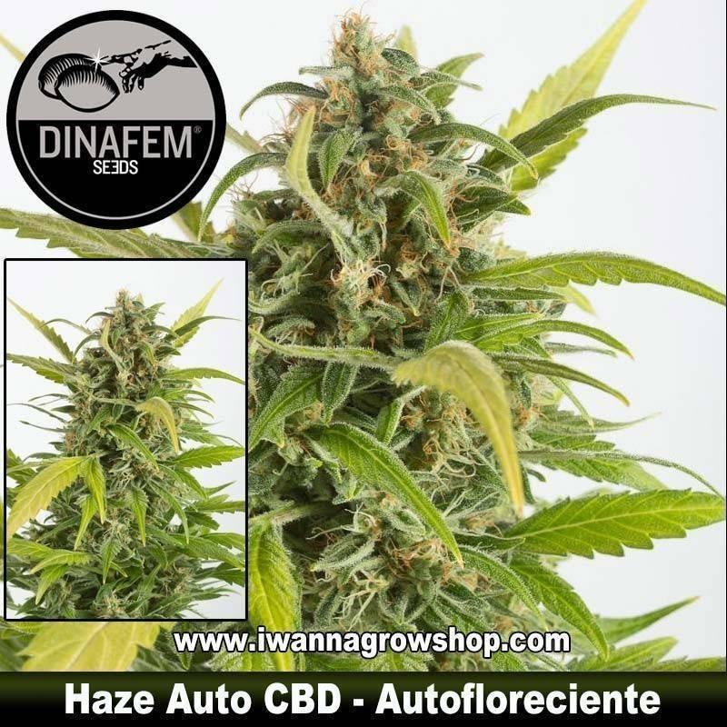 Haze Auto CBD