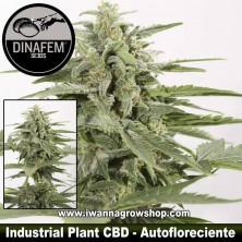 Industrial Plant Auto CBD – Autofloreciente – Dinafem Seeds