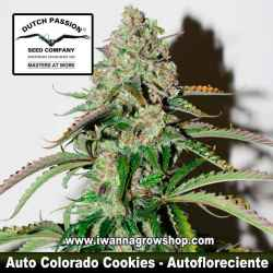 Auto Colorado Cookies – Autofloreciente – Dutch Passion