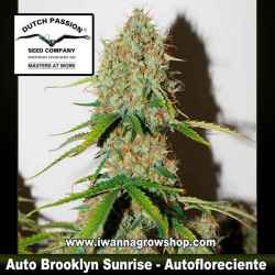 Auto Brooklyn Sunrise – Autofloreciente – Dutch Passion