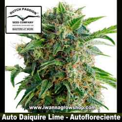 Auto Daiquiri Lime – Autofloreciente – Dutch Passion