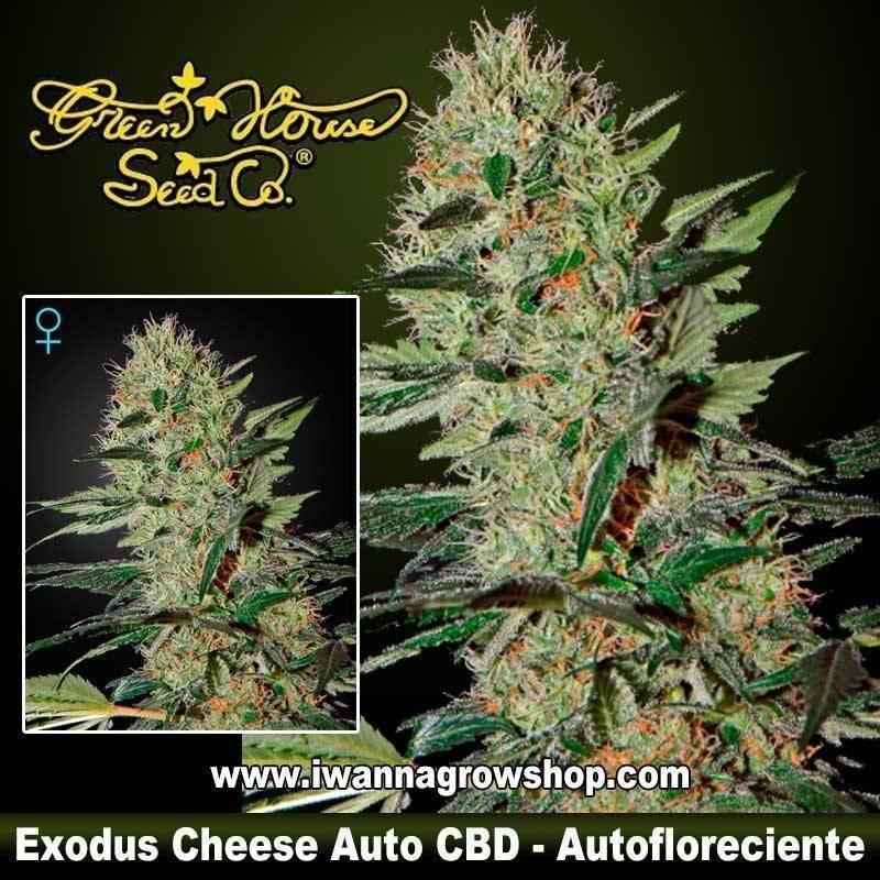 Exodus Cheese Auto CBD
