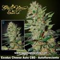 Exodus Cheese Auto CBD – Autofloreciente – Green House