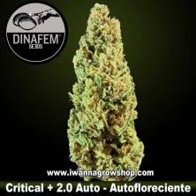 Critical + 2.0 Auto - Dinafem - Autofloreciente