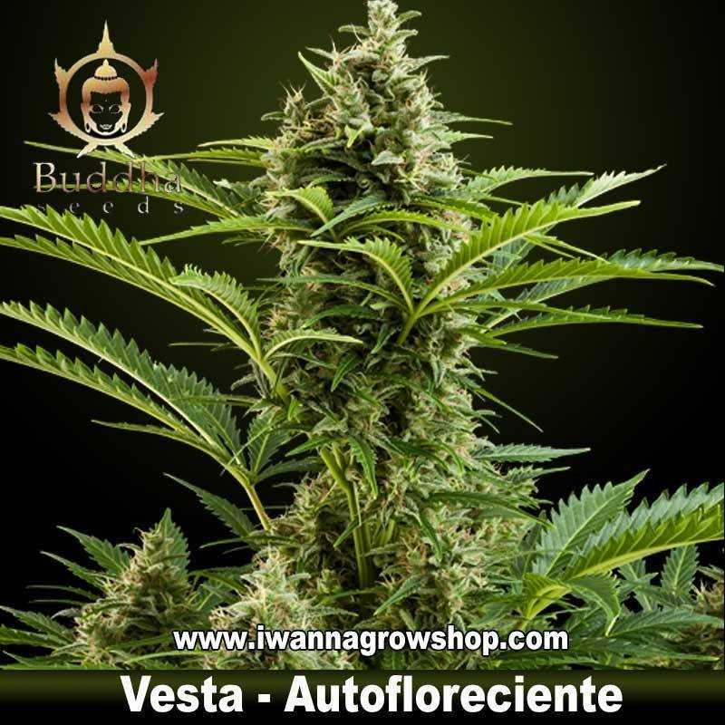 Vesta budda seeds autofloreciente sativa indica for Autofloreciente interior