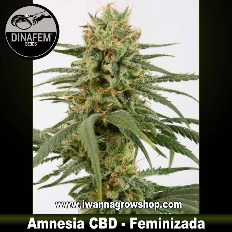 Amnesia CBD