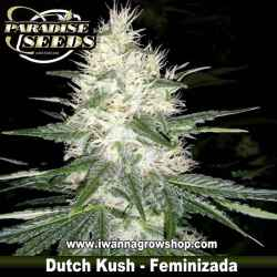 Dutch Kush - Feminizada - Paradise Seeds