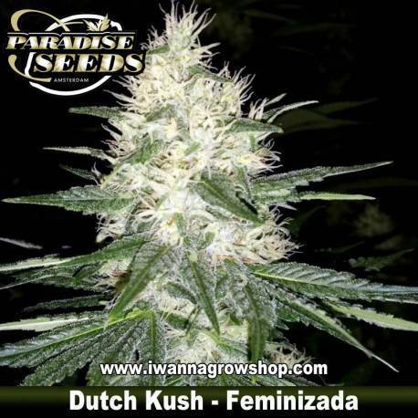Dutch Kush - Paradise Seeds - Feminizada