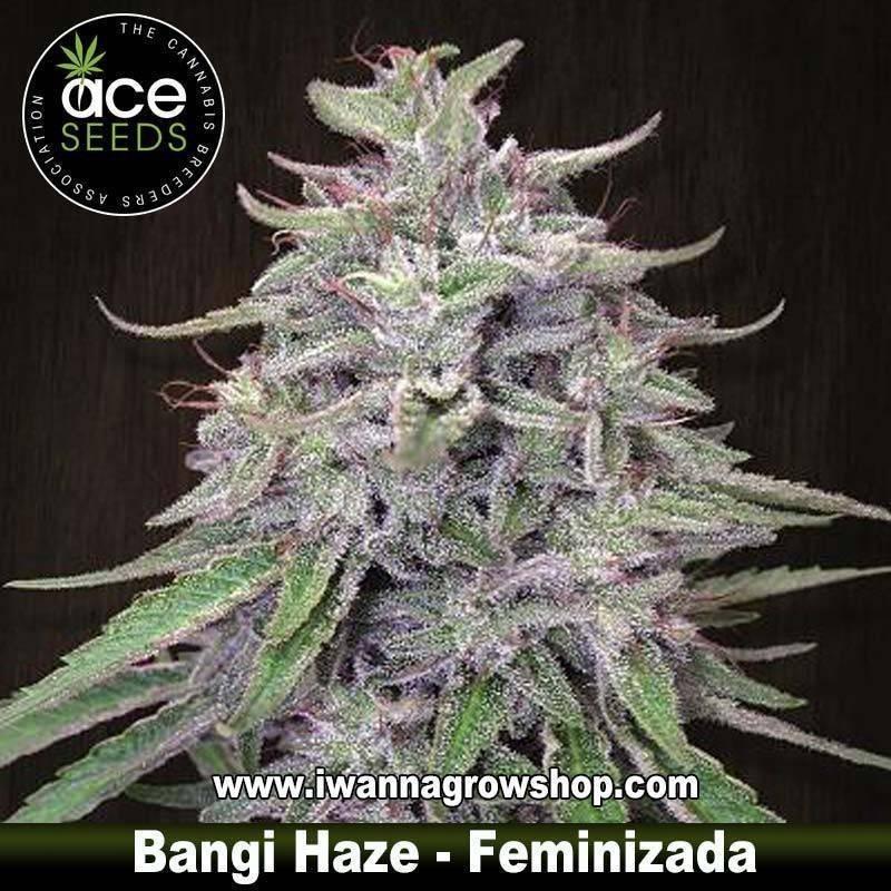 Bangi Haze – Feminizada – Ace Seeds