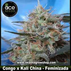 Congo x Kali China – Feminizada – Ace Seeds