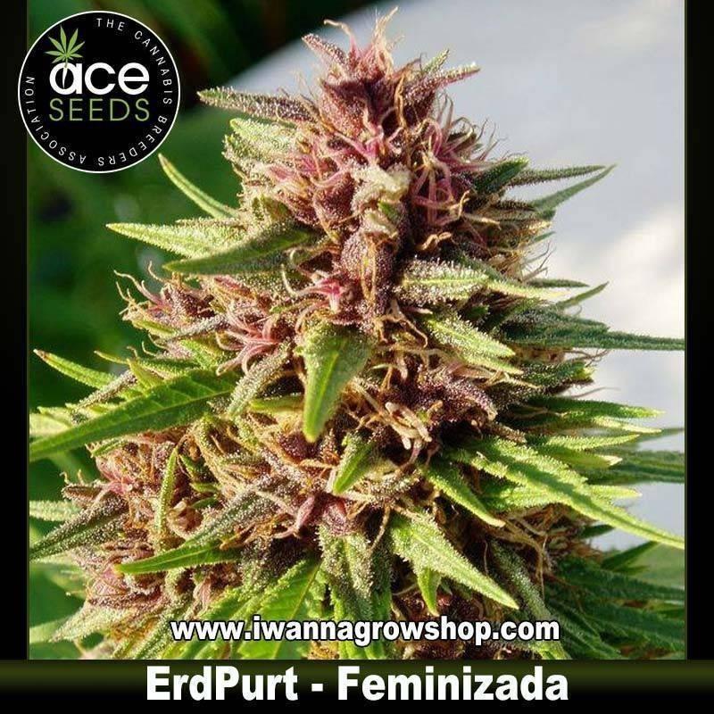 ErdPurt – Feminizada – Ace Seeds
