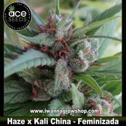 Haze x Kali China – Feminizada – Ace Seeds