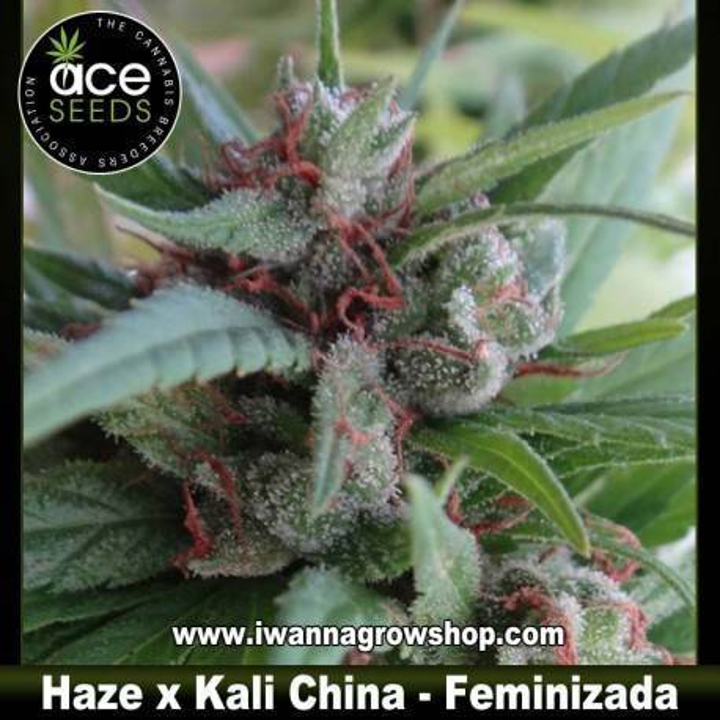 Haze x Kali China – Feminizada – Ace Seeds